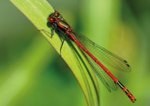 Environments--red-damselfly