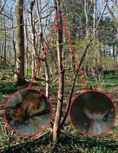 Trees of just 8.5 cm diameter can support bats here crevices support roosting opportunities for both brown long-eared bats and Natterers bats at diff times of year.